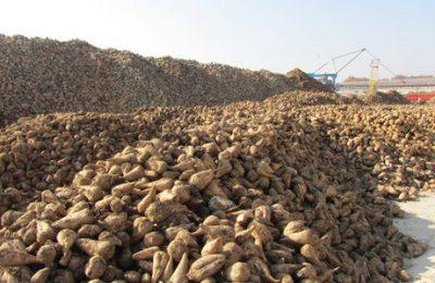 کشت چغندر قند در پیرانشهر