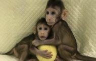 خط شکنی چین در شبیه سازی میمون ها