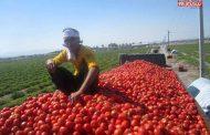 کاهش شدید قیمت گوجه فرنگی به دلیل ممنوعیت صادرات