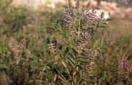 دستگیری برداشتکننده گیاه شیرین بیان از مراتع مهاباد
