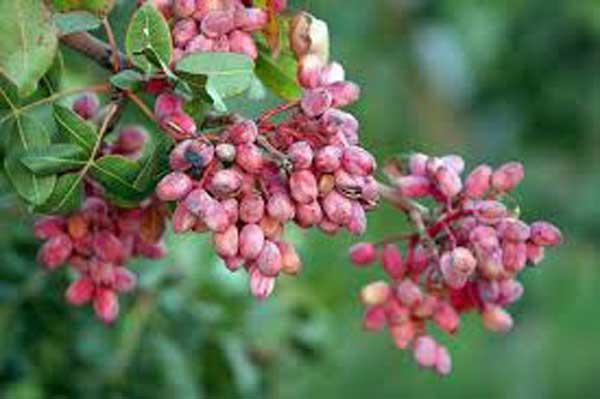برداشت نخستین محصول پسته در مهاباد