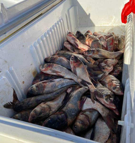 ضبط و جلوگیری از عرضه ۱۰۰کیلوگرمی ماهی قزل آلای زنده فاقد شرایط بهداشتی در پیرانشهر
